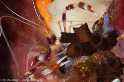 BD-141018-Komodo-5443-Stenopus-hispidus-(Olivier.-1811)-[Banded-coral-shrimp].jpg